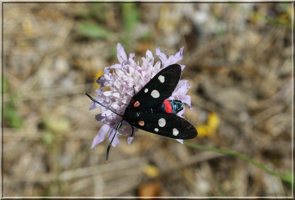 Zygène de la Coronille butinant une fleur de Scabieuse