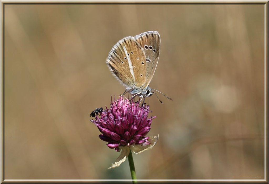 Sablé du sainfoin mâle butinant une fleur 'Ail à tête ronde ailes repliées