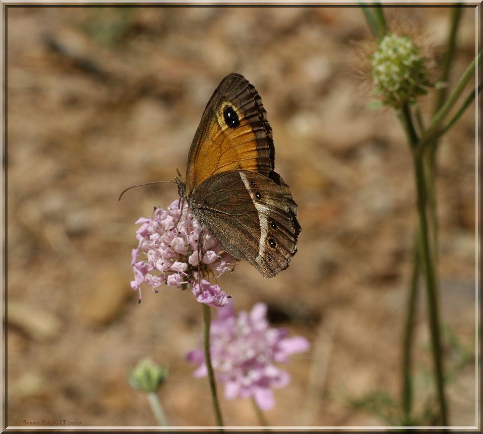 Ocellé rubané butinant une fleur de Scabieuse ailes repliées