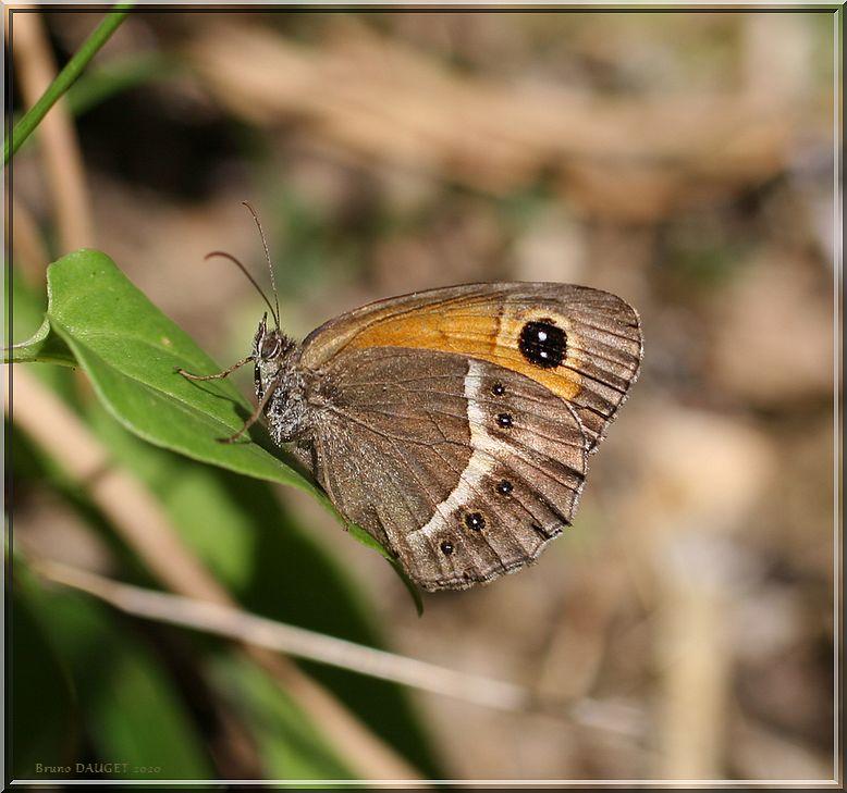 Ocellé rubané posé sur une feuille ailes repliées
