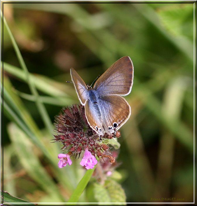 Azuré porte-queue butinant ailes écartées