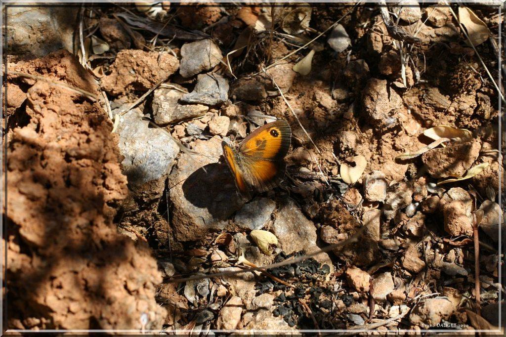 Ocellé de la canche mâle posé au sol ailes écartées