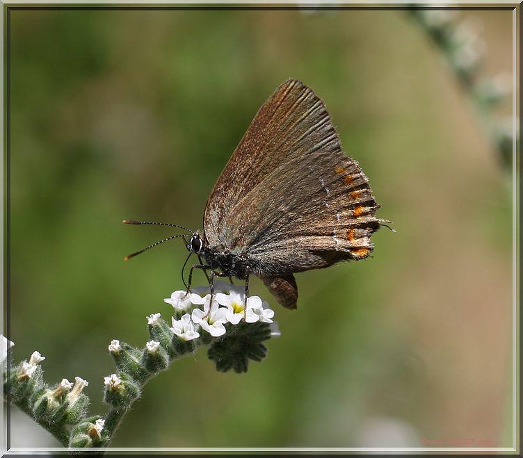 Thécla du kermès butinant ailes refermées