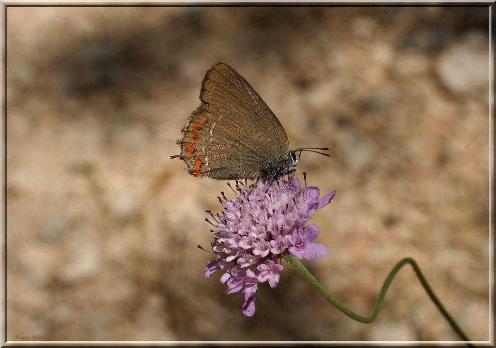 Thécla du kermès butinant fleur de Scabieuse ailes repliées