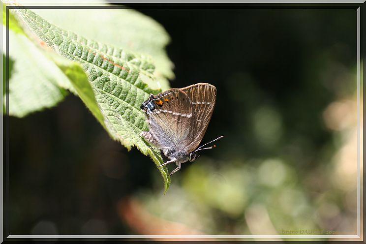 Thécla du Prunellier posé sur une feuille ailes refermées