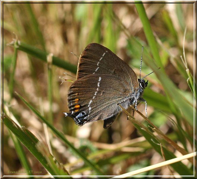 Thécla du Prunellier posé dans l'herbe ailes repliées