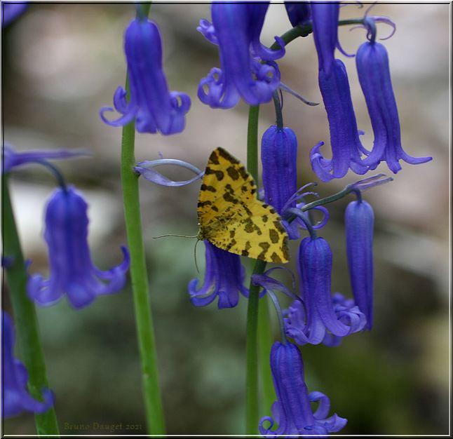 Panthère butinant des fleurs de Jacinthe des bois ailes écartées