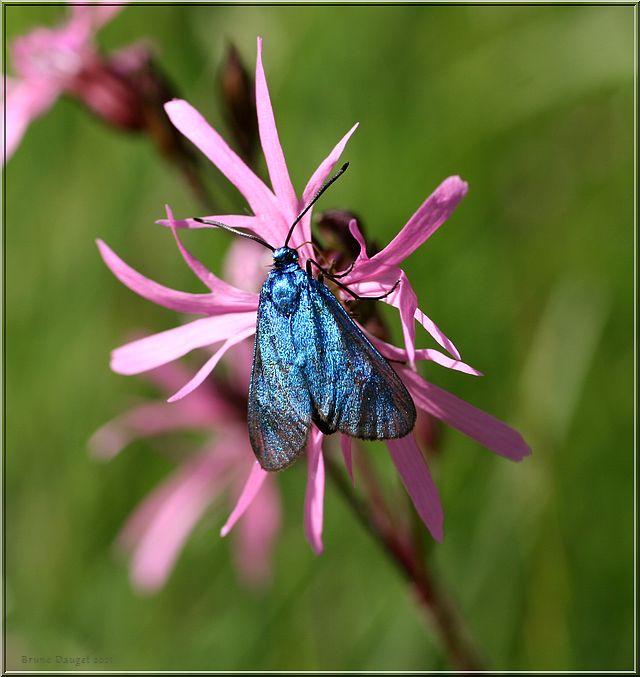 Turquoise de la Sarcille butine un Lychnide fleur-de-coucou