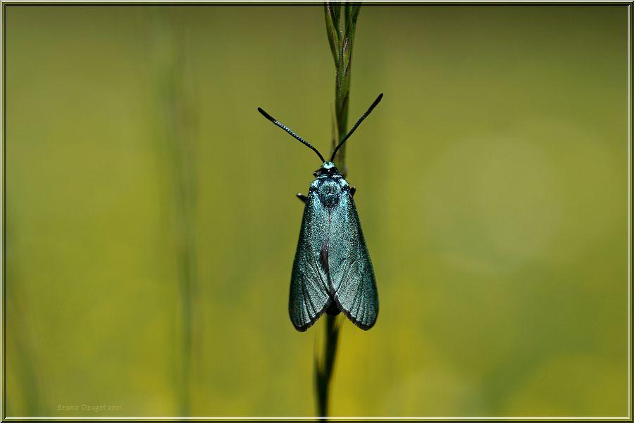 Turquoise de la Sarcille posée sur tige de graminée